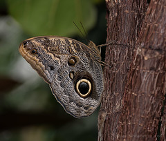 Owl butterfly (Susan Newgewirtz) Tags: canada macro texture beautiful field butterfly bravo montreal insects depthoffield owlbutterfly depth butterfliesgofree