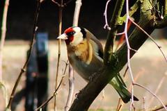 Goldfinch (Edek Giejgo) Tags: sunshine woodland garden bill spring goldfinch finch colourful scrub passerine twittering seedeater