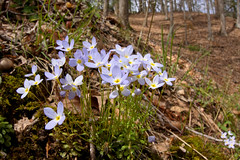 Bluets in the woods (scott_clark) Tags: flowers blue flower nature yellow forest outdoors virginia petals spring woods bluets houstoniacaerulea westmorelandstatepark sigma15mm slta77 spring2016