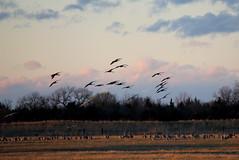 16. Sandhill cranes (Misty Garrick) Tags: nebraska crane migration alda sandhill sandhillcranes sandhillcrane aldane