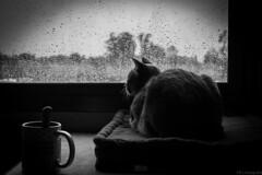 Nole, lluvia BN (ojoartificial) Tags: naturaleza byn contraluz ventana lluvia nostalgia felinos nole natgeo