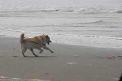All Photos-9282 (jlh_lunasea) Tags: ocean dog beach romeo manzanita huskador