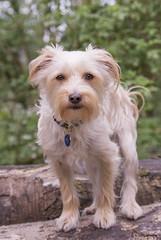 So very proud of my buddy. Love him. (Cindy Scheffer) Tags: dog green dogs yorkie animal puppy woods friend forrest fluffy buddy malteze