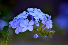 Plumbago (Doc Albores) Tags: blue flores azul plumbago docalbores