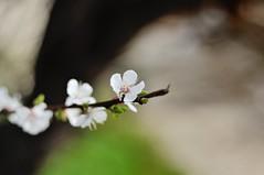 DSC_0091 (szlatajulia) Tags: plant flower spring blossom outdoor apricot