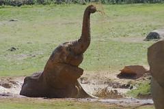 playful pachyderm (ucumari photography) Tags: elephant animal fun mammal zoo march nc mud north pachyderm carolina 2016 specanimal ucumariphotography dsc3930
