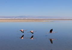 Flamingo em trio decolando (Henrique ZZardi) Tags: chile flamingo pssaro decolando rasante reservanacionallosflamencos salardoatacama lagoachaxa