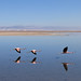Flamingo em trio decolando