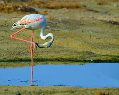 Flamingo pedicure..... (Dunstan Fernando) Tags: nature nikon wildlife flamingo greaterflamingo dunstan wildbird d7000 dunstanphotography wildlifeoman flamingoinoman wildlifemasirahisland flamingoinmasirahisland flamingoinaction flamingopedicure