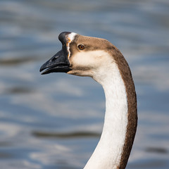 Domestic Goose Portrait (abritinquint Natural Photography) Tags: wild portrait bird nature water river germany geese nikon natural wildlife goose 300mm domestic telephoto nikkor luxembourg f4 vogel pf trier mosel tc14eii 300mmf4 teleconvertor d7200 pfedvr