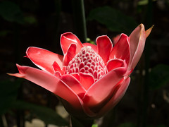 """Torch Ginger • <a style=""""font-size:0.8em;"""" href=""""http://www.flickr.com/photos/91306238@N04/25938958596/"""" target=""""_blank"""">View on Flickr</a>"""