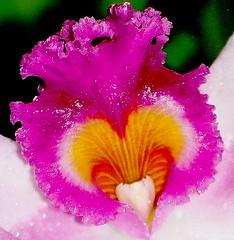 SINGAPORE ORCHID FLOWER (patrick555666751) Tags: orchid flower fleur singapore asia flor blumen asie fiori orchide