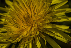 Dandelion Nectar - April 2016 (GOR44Photographic@Gmail.com) Tags: wild flower macro yellow canon petals 100mm dandelion 100mmf28 canon100mm gor44