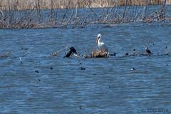 20160416-IMG_5077 (tdg734) Tags: pelicans birds cormorants unitedstates michigan doublecrestedcormorant americancoot americanwhitepelican monroecounty railsgallinulesandcoots pointemouilleesga abalist