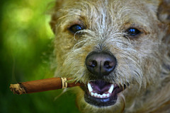 Your Move (swong95765) Tags: dog bokeh watching cigar smoking stare panting scruffy growling