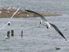 Titchfield Haven, Hampshire 230416 (051) (Photos-Tony Wright) Tags: haven black bird nature wildlife gull flight reserve hampshire april headed 2016 titchfield