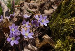 Round-lobed Hepatica (Hepatica nobilis) (Robert Sinclair) Tags: newjersey spring ridge hepaticanobilis sussexcounty roundlobedhepatica njcf muckshawponds