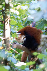 Firefox (Cloudtail the Snow Leopard) Tags: bear red berlin animal cat mammal firefox panda tierpark lesser katzenbr kleiner tier roter sugetier ailurus fulgens goldhund feuerfuchs kleinbr brenkatze