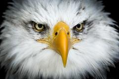 Bald Eagle (Erik de Klerck) Tags: show bird eye look eyes eagle baldeagle feathers feather sharp mean haliaeetusleucocephalus birdofprey vogel hellenthal seaeagle greifvgel greifvogel