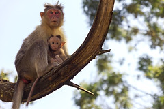 Mom, pretend not to notice the camera. He is trying a candid shot. (Premnath Thirumalaisamy) Tags: canon mom eos monkey outdoor candid sigma relationship tamilnadu ooty avalanchelake 550d 1770mm avalancheforest