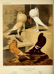 n163_w1150 (BioDivLibrary) Tags: pigeons fieldmuseumofnaturalhistorylibrary bhl:page=49799031 dc:identifier=httpbiodiversitylibraryorgpage49799031
