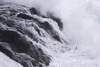 White-tailed Tropicbird - Kauai