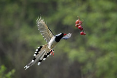 N81_4232 (Niklas_N) Tags: china nature big wildlife magpie kina bif d810 nikkorafs500mmf4edvr