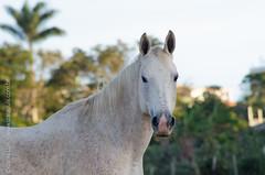 _DSC8818 (Izaias Lus) Tags: brasil caballos photography photographie cavalos equestrian equine nordeste chevaux equino haras equestre garanhunspe