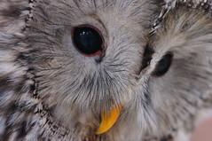 Ivan - Ural Owl (tim ellis) Tags: worldowltrust bird owl animalzone rodbaston uralowl strixuralensis ivan penkridge uk msh02175 msh0217