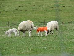 Sheep Coat (simonbullen85) Tags: stilllife canon scotland spring sheep coat lamb canonpowershot ewe canoncamera sx60 sx60hs