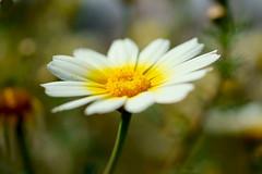spring feelings........... (atsjebosma) Tags: macro march spring spain bokeh ngc colourful spanje kleurrijk 2016 atsjebosma