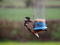 Peckish (philipbarker) Tags: bird garden major woodpecker great feeder peanuts spotted watcher spotter dendrocopos