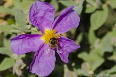 Macro_La Tossa 064 (jomendro) Tags: macro planta animals flor natura plantes macrofotografa abelles latossademontbui