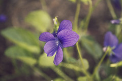 DSC_5936 (Kll at GMS) Tags: blue alaska purple wildflowers gypsymoonstudios akfineart kelliharlow