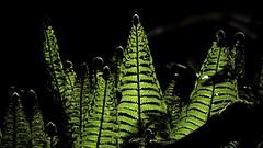 Junger Farn ( doro 51 ) Tags: fern green grn farn 2016 dorophoto