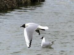 Titchfield Haven, Hampshire 230416 (050) (Photos-Tony Wright) Tags: haven black bird nature wildlife gull flight reserve hampshire april headed 2016 titchfield