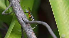 Black and White Wasp (kuper5) Tags: white black wasp ichneumon striped