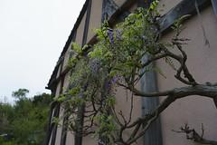 _DSC2031 (Osamu1965) Tags: flower japan zeiss garden spring sony contax jp   okayama     a7m2  carlzeissvariosonnart2870mmf3545mm