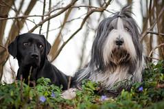 Maggie und Ole (laboheme82) Tags: dog dogs labrador hund beardie beardedcollie hunde labbi
