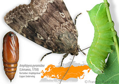 Copper Underwing life stages (Franziska Bauer) Tags: moth lepidoptera caterpillar noctuidae metamorphosis metamorphose amphipyrapyramidea copperunderwing