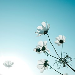 Cosmos ( aikawake) Tags: blue light sky white flower love nature beautiful wonderful landscape spring peace view outdoor awesome indigo taiwan atmosphere happiness obsession grace clear explore excellent bloom pure ricohgr cosmos