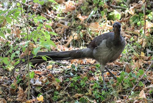 Menura novaehollandiae novaehollandiae (Superb Lyrebird)