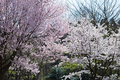 sakura (kenta_sawada6469) Tags: pink flowers trees plants plant flower tree green nature colors japan forest cherry japanese spring cherryblossom sakura