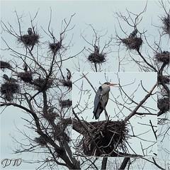 Reiher im April (peterphot) Tags: heron reiher