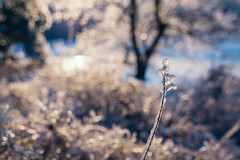 (DhkZ) Tags: winter snow ontario canada storm tree ice nature grass zeiss sunrise 35mm bokeh contax aurora distagont1435 canoneos5d2 contaxzeissdistagon35mmf14