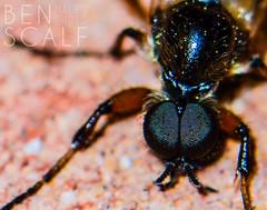 fly ( ID needed please ) - 105mm macro (ben.scalf) Tags: ohio macro eye nature bug fly compound nikon cincinnati wildlife science micro dslr biology 105mm d3200