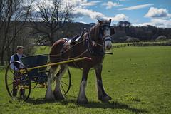 Working horse (Hawk 3663) Tags: horse colour beamish workinghorse shirehorse horsephotography samsungnx30
