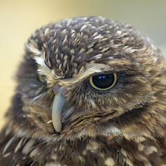 J77A5082 -- Face of a Burrowing Owl (Nils Axel Braathen) Tags: ngc athenecunicularia burrowingowl