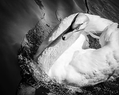 Swan (t conway) Tags: