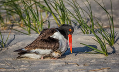 Always (kathybaca) Tags: ocean sea bird love nature birds fly babies earth wildlife dunes feathers aves chick parent eggs oystercatcher chicks hatch nesting migrate